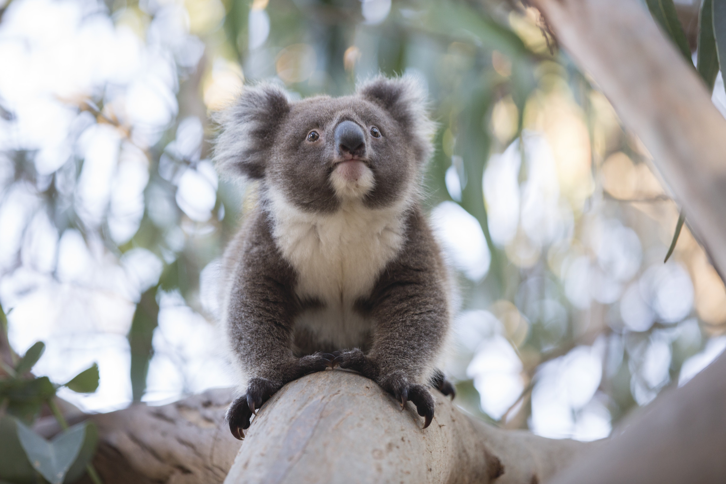 How to help Australian wildlife. Visit koalas on Australian Wildlife Adventures.